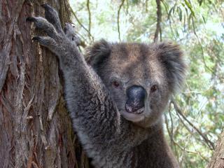 Koala Photo © Lorraine Phelan