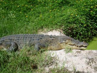 Estuarine crocodile. Photo: Dawul Wuru Aboriginal Corporation